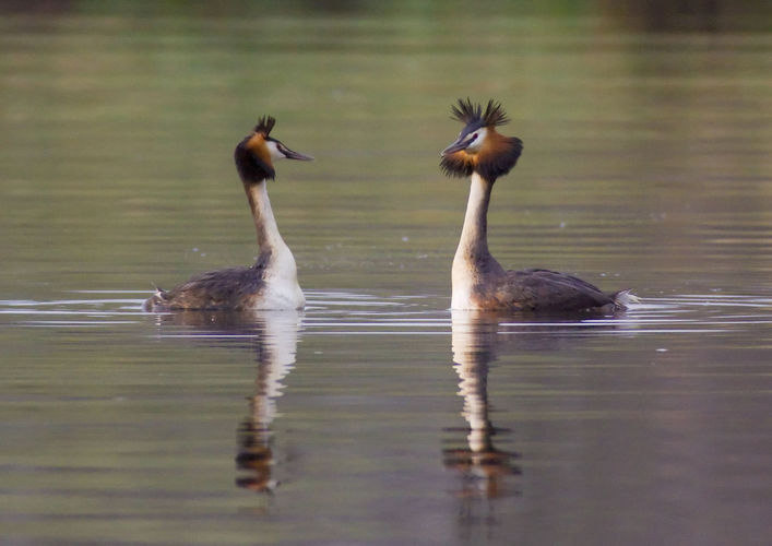 Cursus: watervogels in de winter