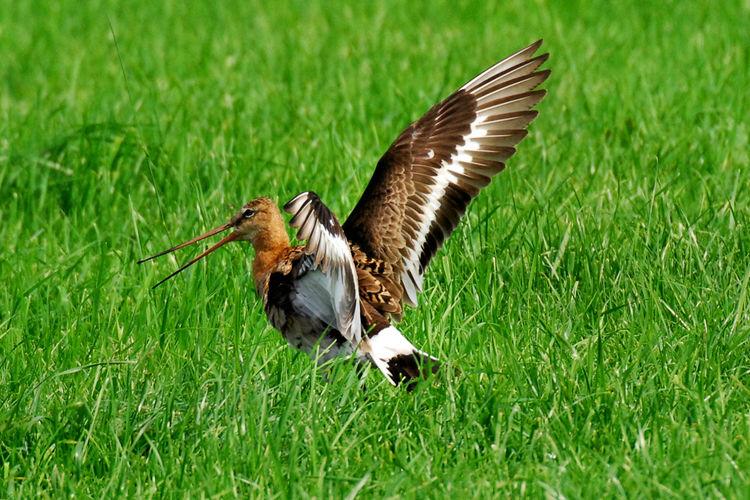 Wandeling Weidevogels in Schulensbroek